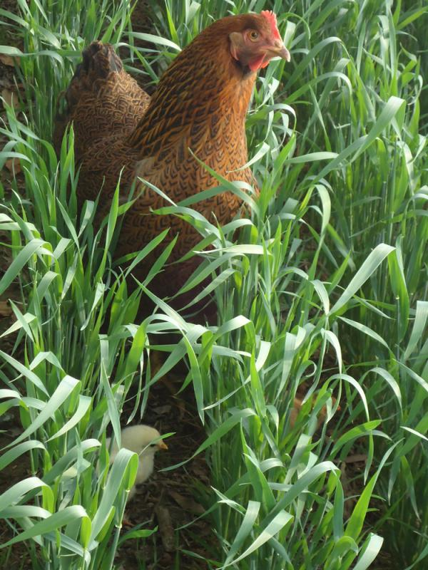 Cocoa and baby chick in winter wheat field